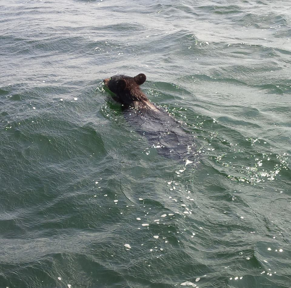 This little guy was swimming across the Big Sound one day.  Hope he made it!
